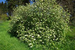 Shrubs botanical r through z a compact and globe shaped shrub with large white flowers in the spring that are very fragrant leaves are green grey with a mightylinksfo