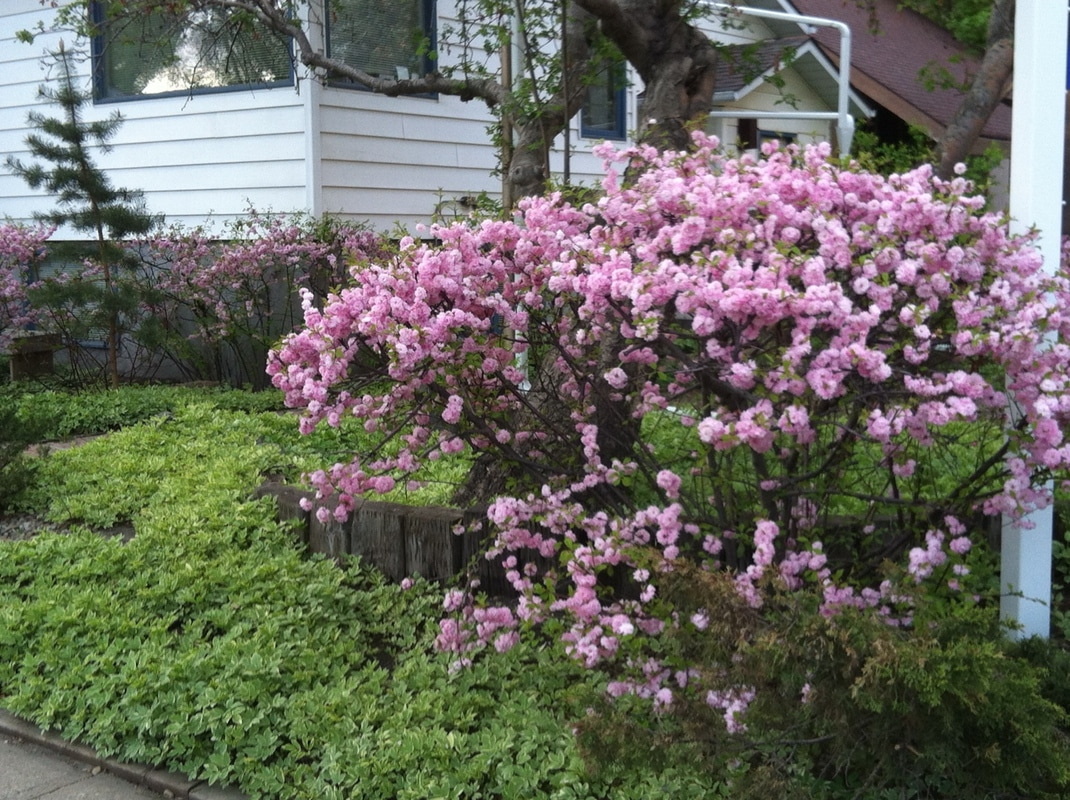 Shrubs with purple flowers at end of branch - A Stunning Upright Shrub With Showy Double Pink Flowers Emerging Early Spring Blooms Cover The Entire Length Of The Branch And Are