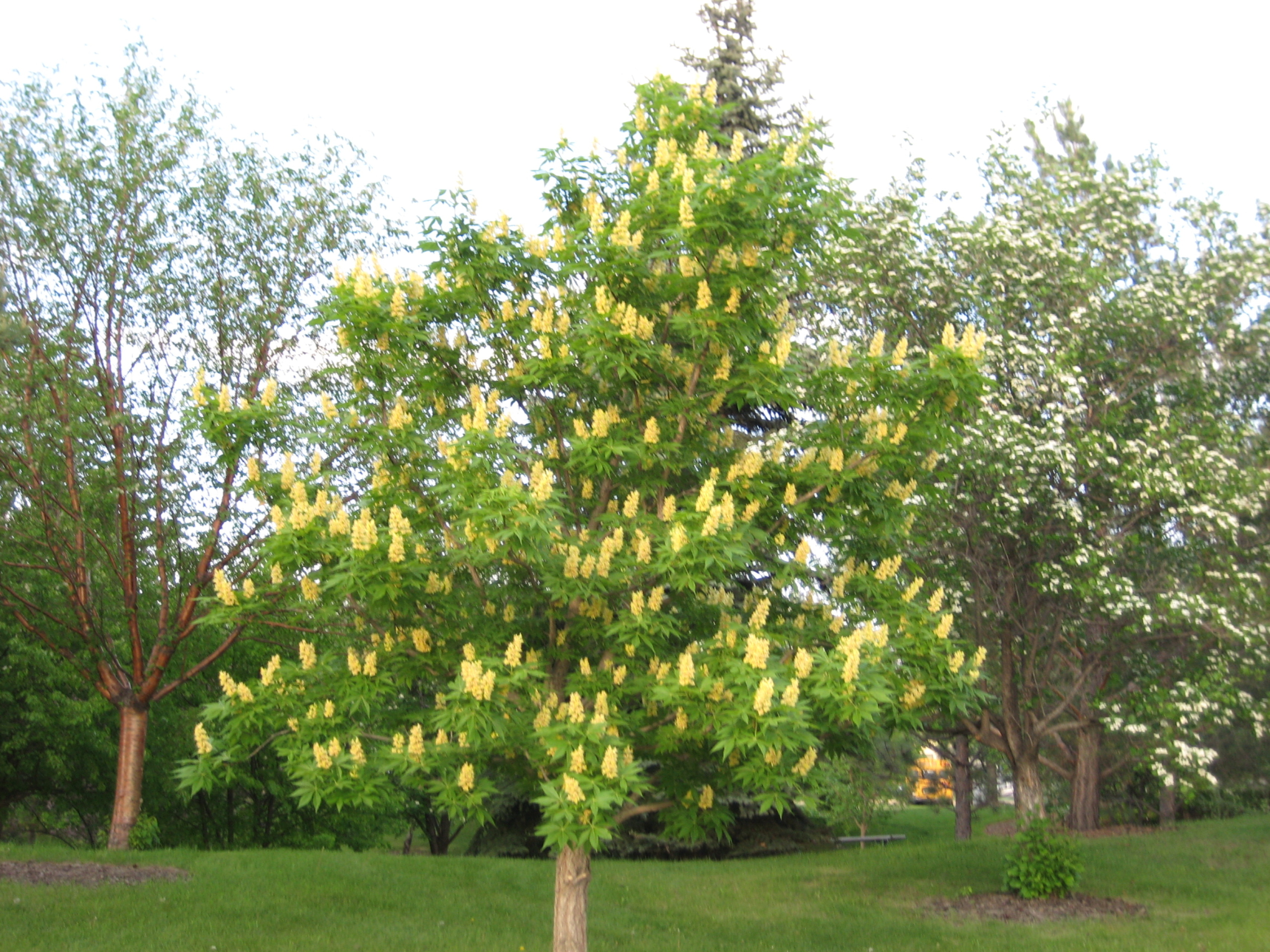 Aesculus glabra ohio buckeye for Slow growing trees for front yard