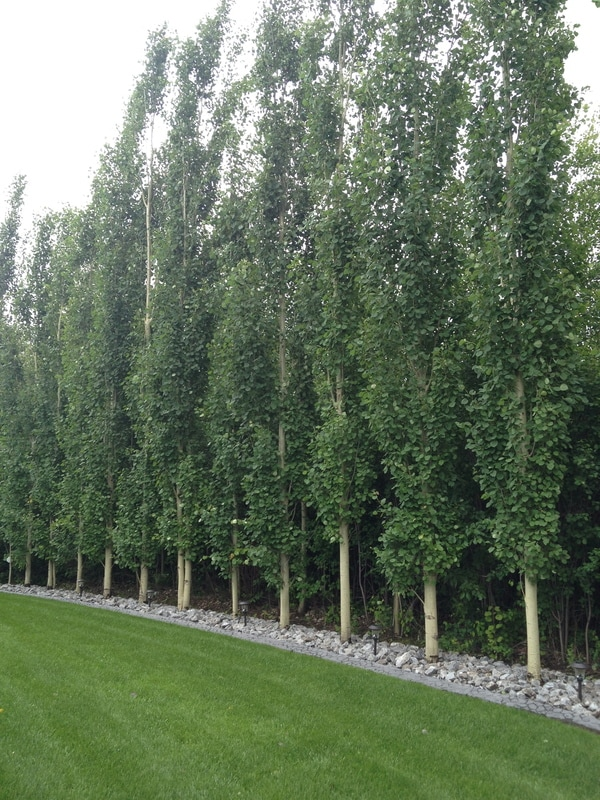 Tall narrow privacy trees for Columnar evergreen trees for small gardens